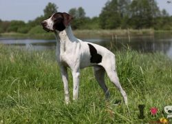 perro braco alemán blanco y negro