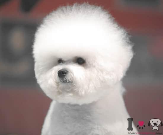 perro de la raza bichon frisé pelo