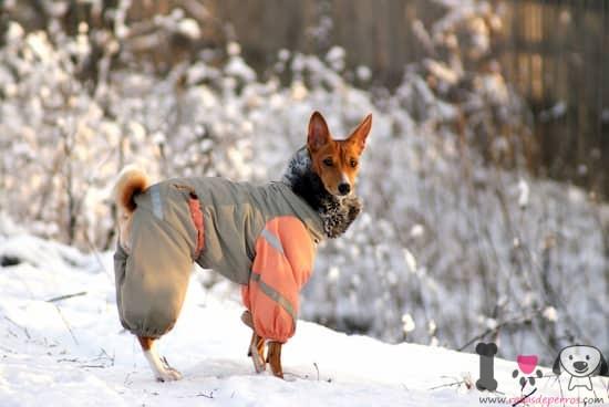 perro macho basenji en la nieve con un abrigo