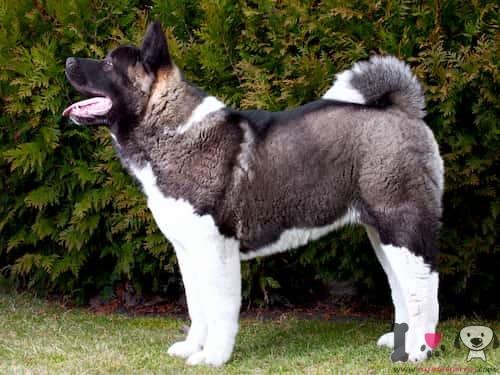 perro macho de raza akita color blanco y negro