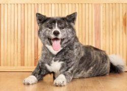 raza de perros akita inu