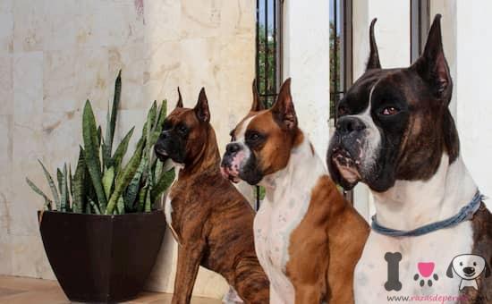 tres perros adultos raza boxer