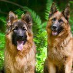 Nombres para perros Pastor Alemán