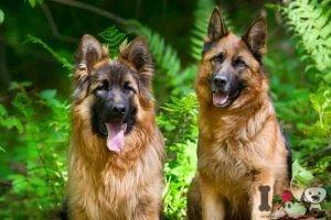 perro pastor alemán macho y hembra
