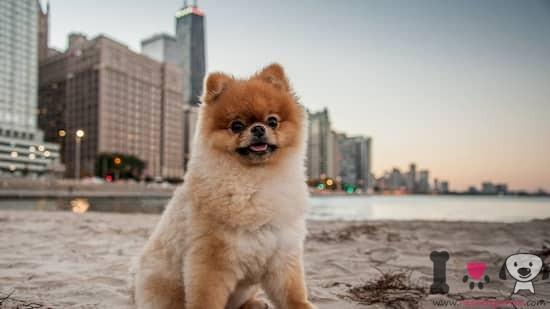 perro pequeño lulú de pomerania