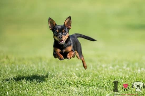perro pequeño saltando en la hierba