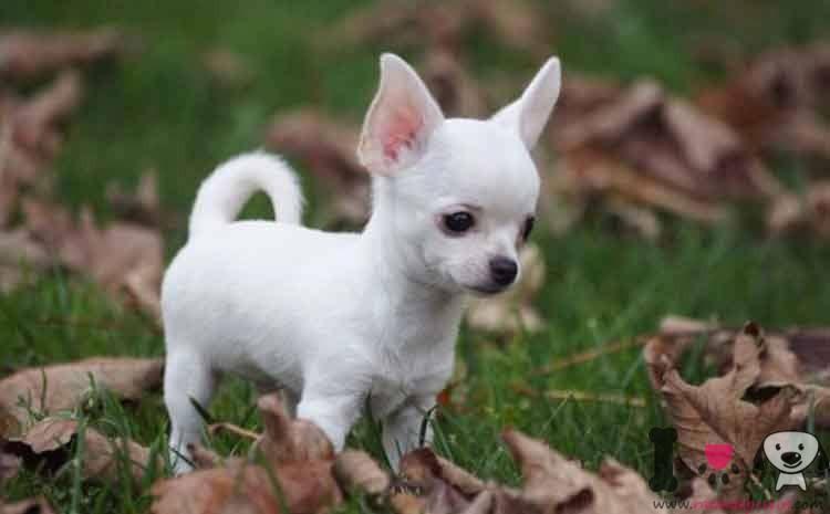 chihuahua blanco toy
