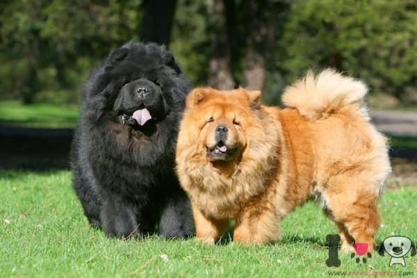 dos perros chow chow negro y dorado