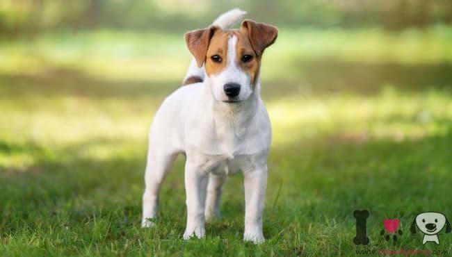 jack russell terrier blanco y marrón
