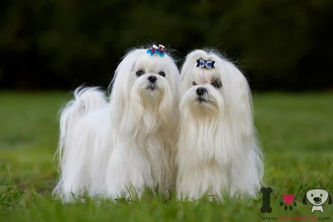 perro blanco bichón maltés hembra y macho