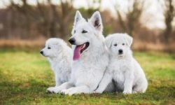 razas de perros blancos