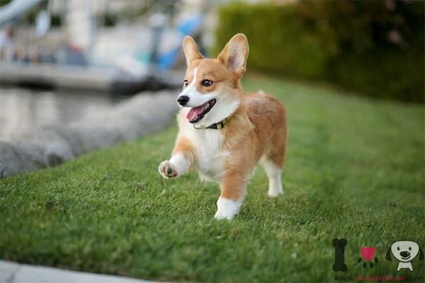 corgi galés uno de los perros más bonitos