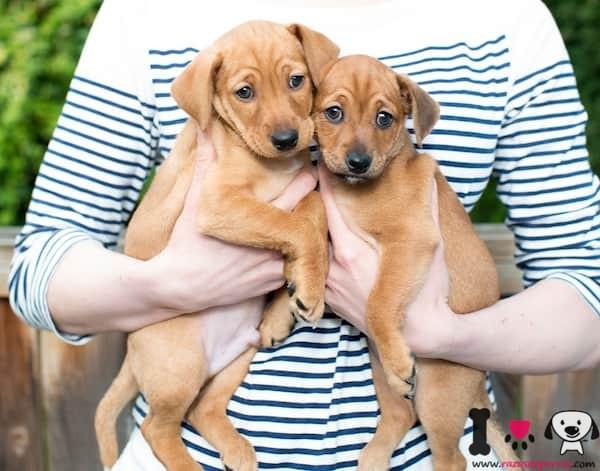 dos cachorros marrones recién adoptados