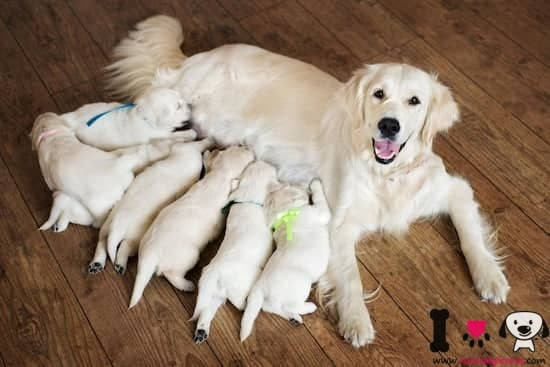 hembra de golden retriever con sus cachorros