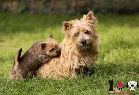 norwich terrier con su cachorro de nombre Toby