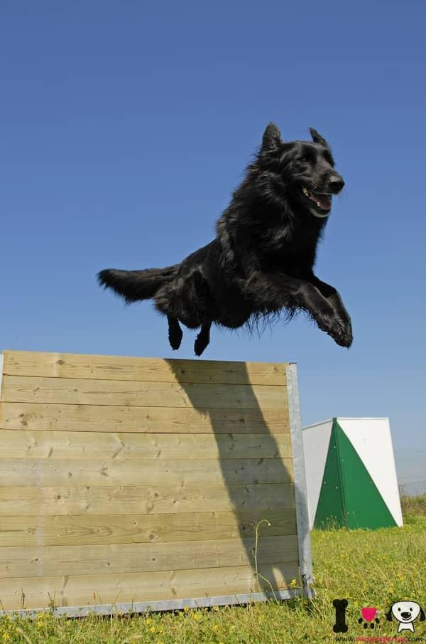 pastor belga negro saltando