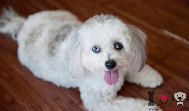 perro de raza maltipoo