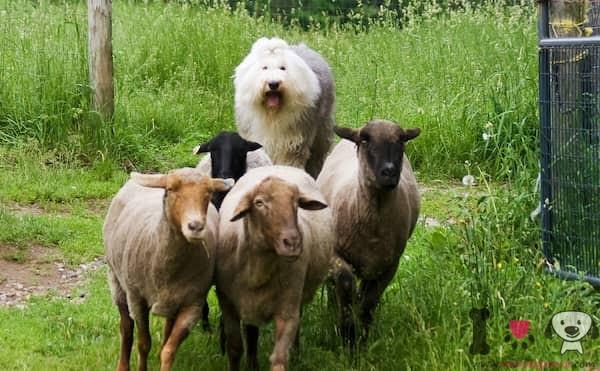 perros pastores de ovejas