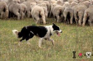 razas de perros pastores