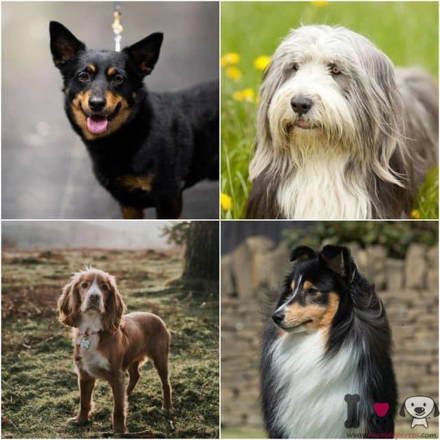 todas las razas de perros reconocidas