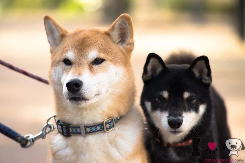 un perro akita japonés marrón y otro negro-blanco