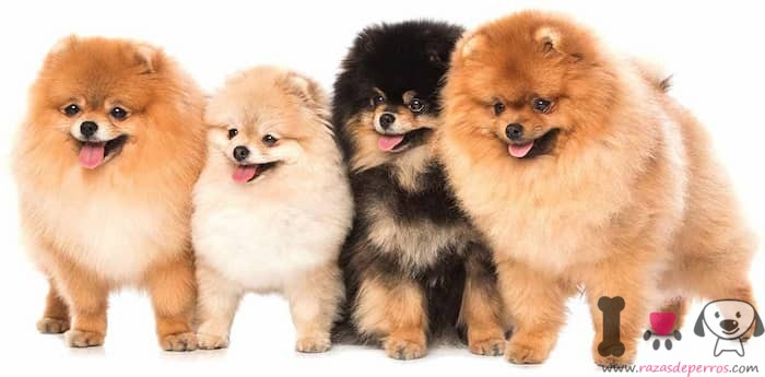 4 perros lulú de pomerania