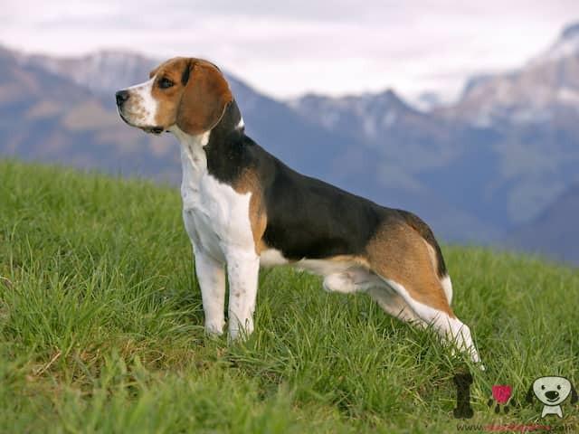 beagle raza inglesa