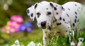 cachorro de dálmata