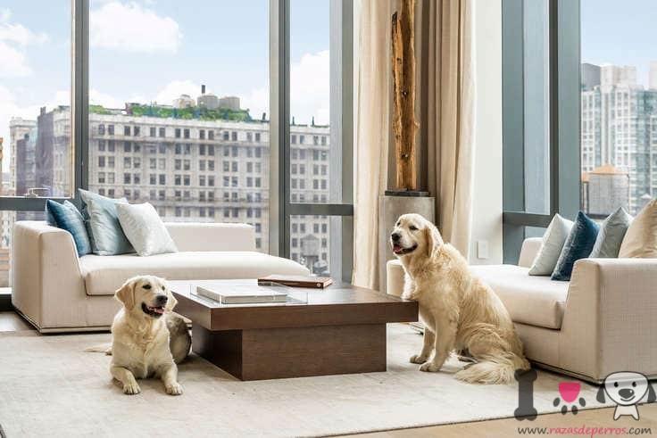dos perros golden retriever en el apartamento