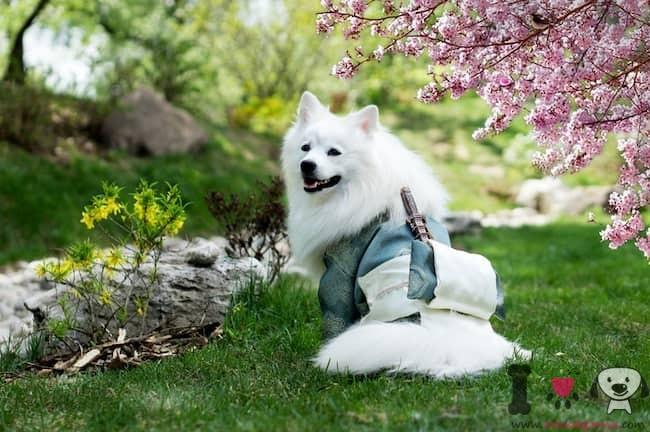 perro blanco japonés