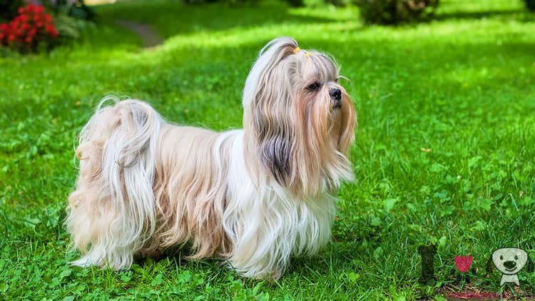 perro shih tzu con el nombre corto Toby
