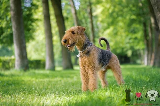 raza inglesa bicolor Airedale terrier