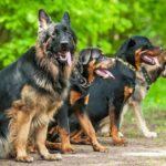 Razas de perros alemanes