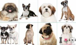 razas de perros chatos
