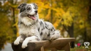 razas de perros con manchas