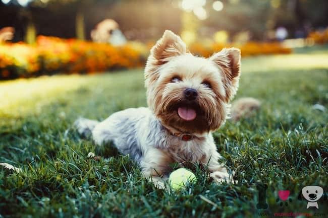 yorkshire terrier jugando en el parque