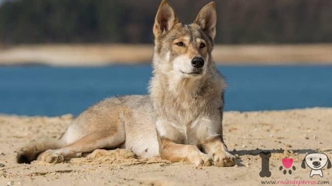 Tamaskan perro lobo