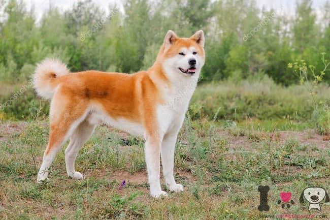 akita inu perro japonés