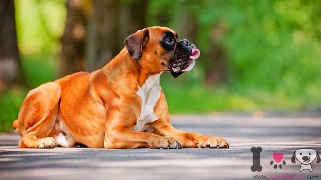 bóxer perro grande tumbado