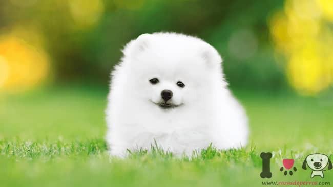 cachorro blanco pequeño