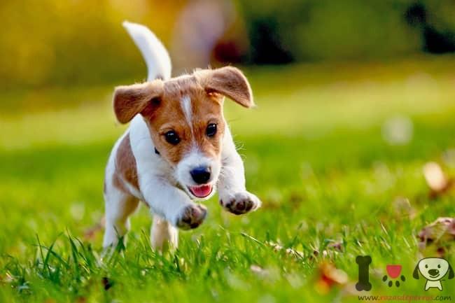 cachorro de russell terrier