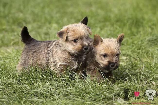 dos cachorros de norwich terrier