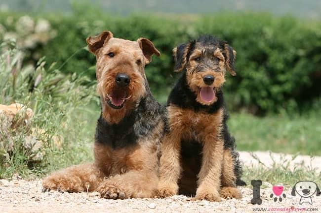 dos perros adultos de la raza airedale terrier