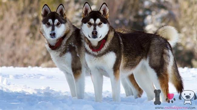 dos perros lobo malamute de alaska