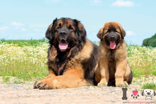 hembra de leonberger con su cachorro