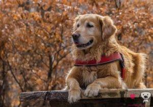 mejores nombres para perros grandes golden retriever