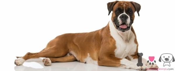 perro de raza bóxer