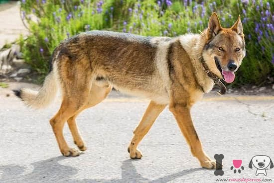 perro macho de raza Kugsha