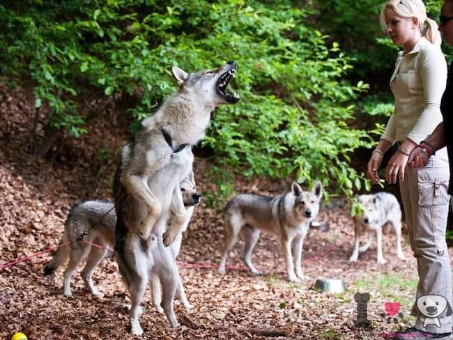 perros lobo con su adiestradora