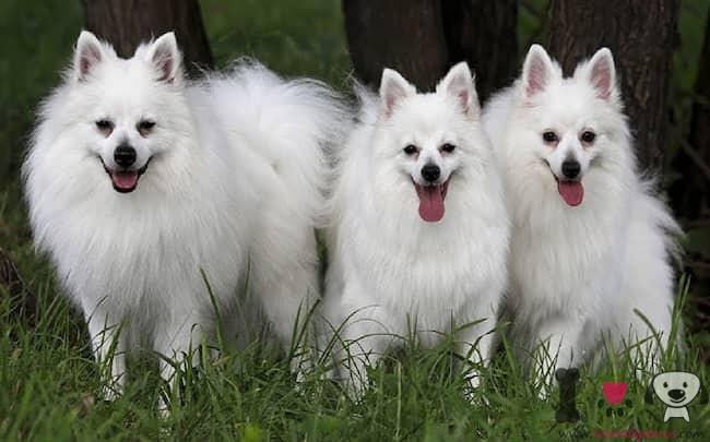 tres perros color blanco de nombre Lassi, perla y mumba